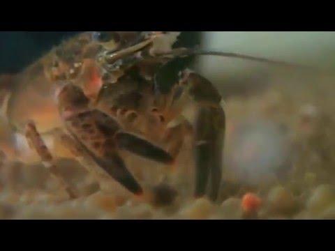 crayfish-feeding-(orconectes-limosus)-||-kamberkrebs
