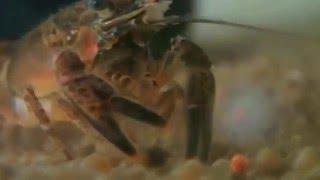 Crayfish Feeding (Orconectes limosus)  ||  Kamberkrebs
