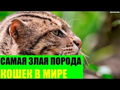 Вопрос: Какой породы современные дворовые кошки?