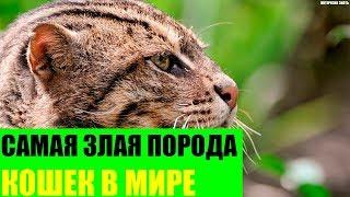 Самая злая порода кошек в Мире