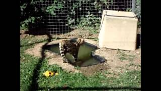 Savannah Cat TV - Serval loves his pond