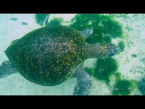Green Sea Turtles (Chelonia Mydas) Swimming In The Shallows Of The Galapagos Islands