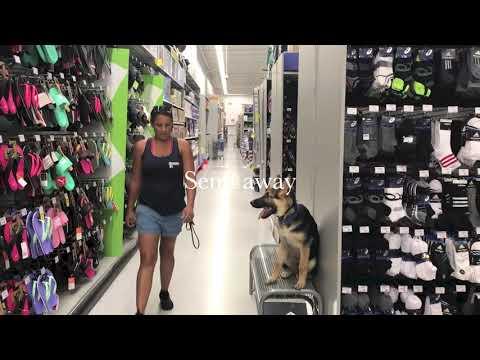 "5 month old German Shepherd ""Captain""/ German shepherd trainers/best dog trainers orlando"