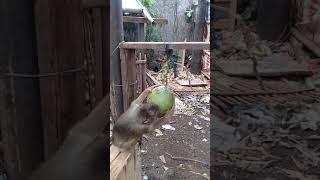 Bawon jago petik kelapa