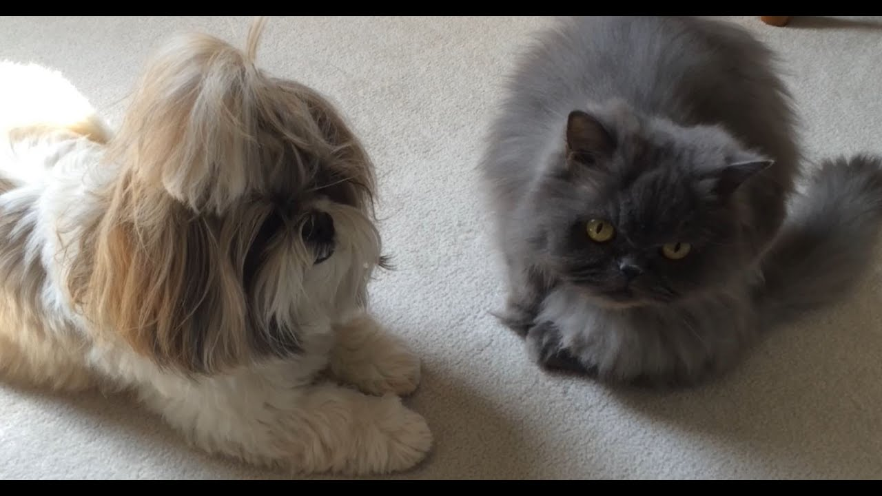 shih tzu dog lacey and blue persian cat lexi are calm with each other youtube. Black Bedroom Furniture Sets. Home Design Ideas