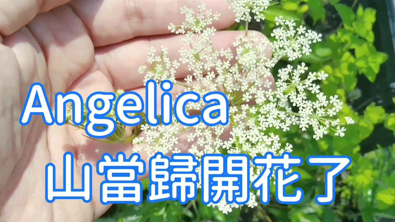 山當歸 Angelica 栽培心得