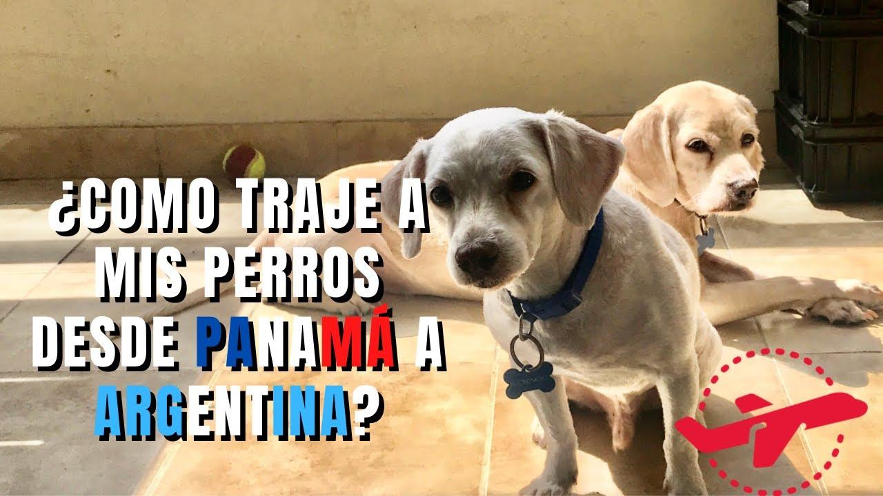 Proceso de cómo nos trajimos a los perros de Panama a Argentina (paso a paso)
