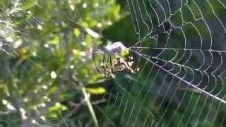 Garden Spiders Attacking Prey