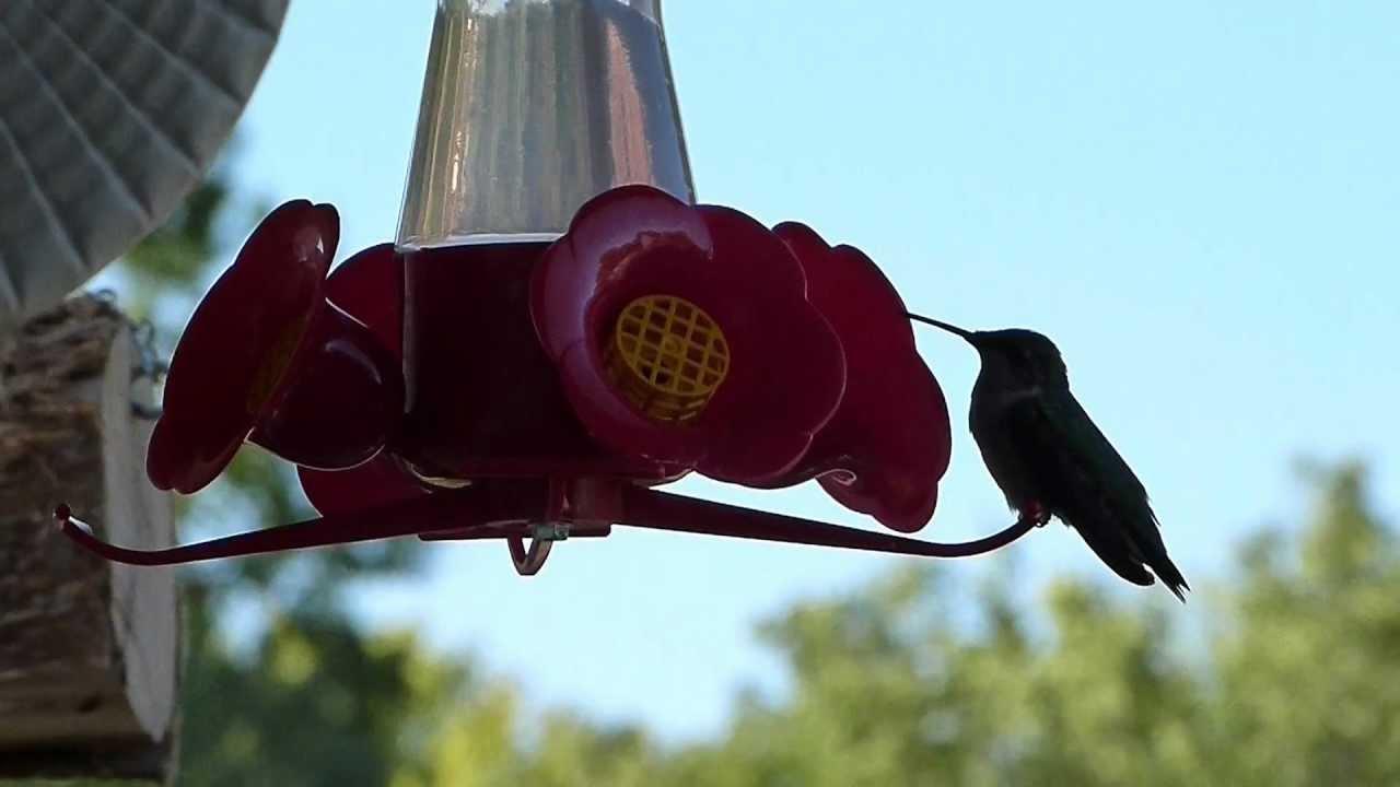 omaha nebraska hummingbirds youtube