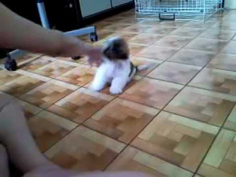 Shih Tzu Training -  Only 2Mths Old