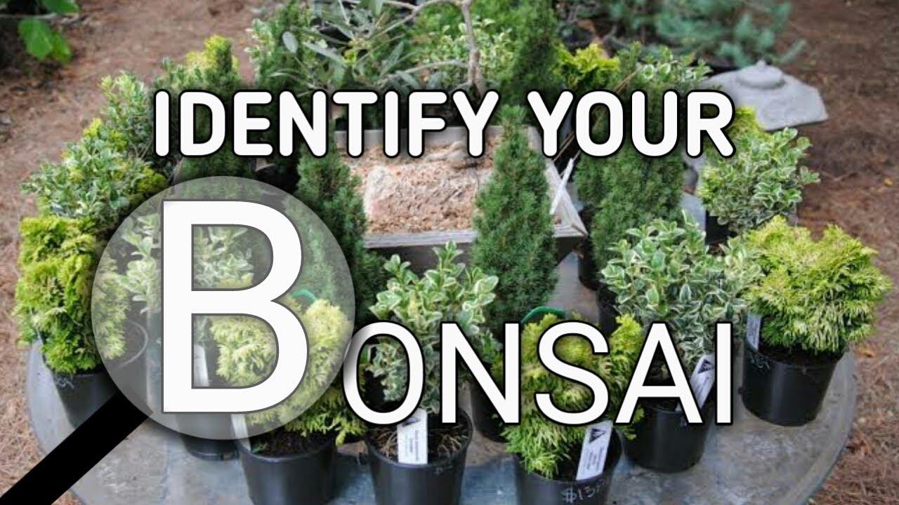 Identify Your Bonsai Tree Youtube