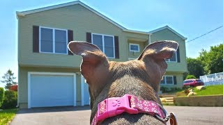 rescue-pitbull-s-first-time-seeing-her-new-home-reaction