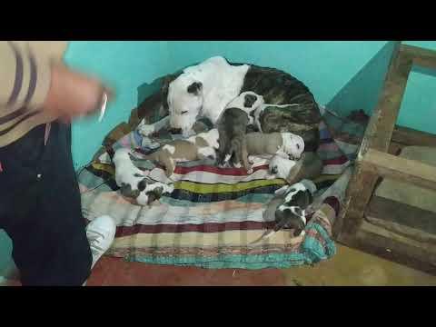 Best Pitbull puppies for sale in Dehradun haridwar Rishikesh Roorkee uttrakhand in Rohit dog kennel