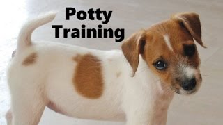 How To Potty Train A Parson Russell Terrier Puppy - House Training Parson Russell Terrier Puppies