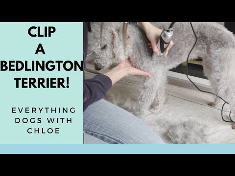 HOW TO GROOM A BEDLINGTON TERRIER  FULL BODY CLIP