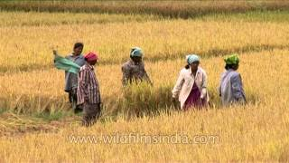 Women farmers in Karnataka cut their paddy crops
