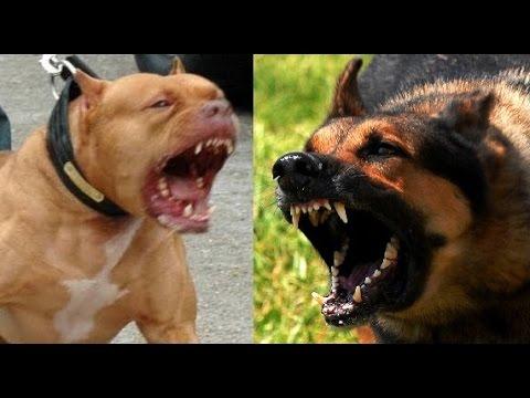 German Shepherd vs Pitbull - Highlights BadAss Dogs ...