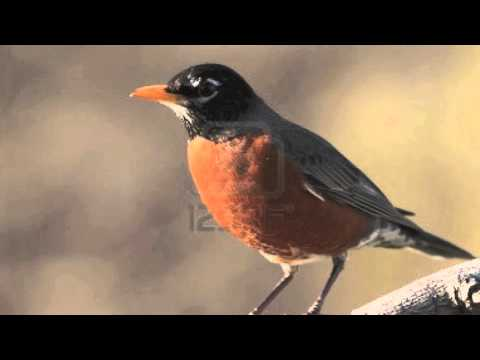 American Robin Alarm Call - Sound Only! FREE USE