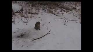 Avcıların kurduğu tuzağa yakalanan Vaşak kedisi