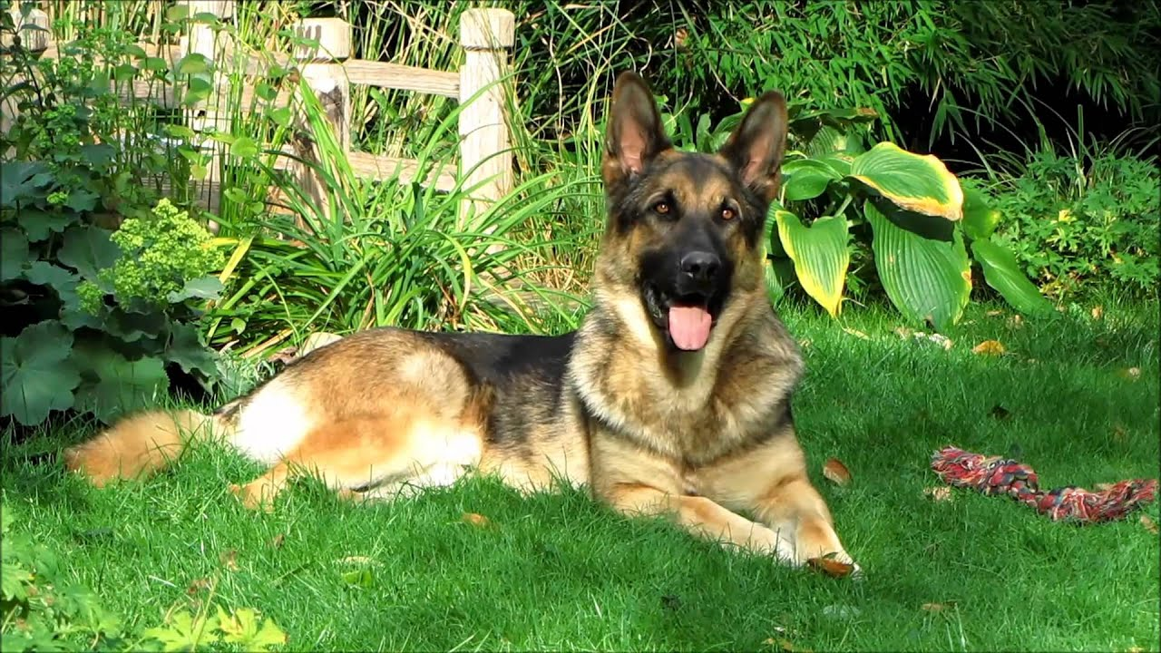 Nero, Beautiful German Shepherd, Full-HD.wmv