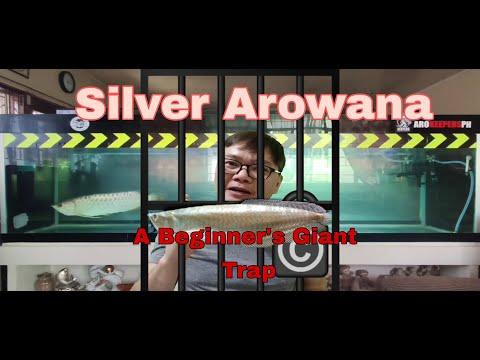 Silver Arowana -