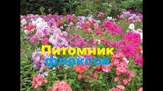 Питомник флоксов, флоксы цветы, сорта флоксов