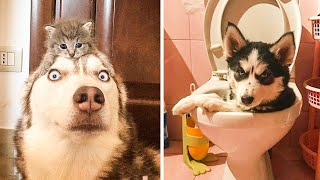 Funny and Cute Husky Puppies Compilation #11  Cutest Husky