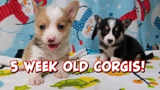 5 Week Update Corgi Puppies