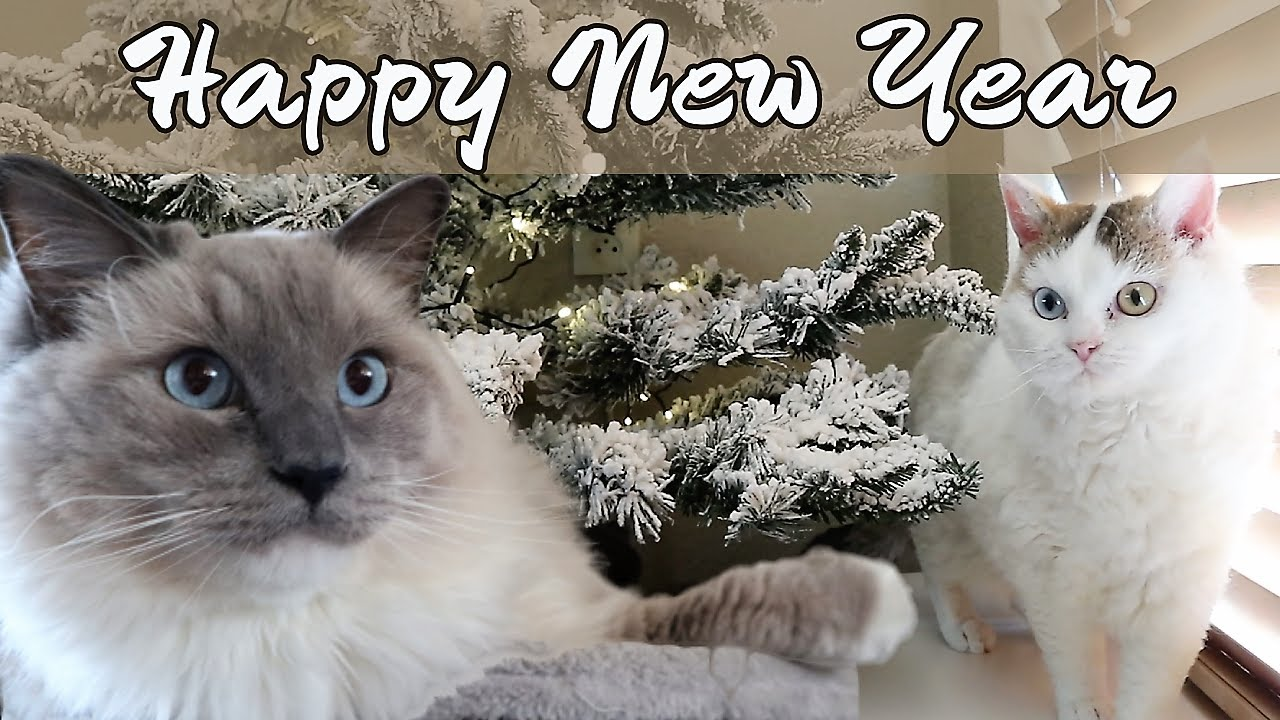 Happy New Year Wishes 2020 Bowie The Ragdoll Cat Bella Kitten