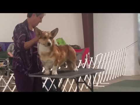 Hampton Roads Kennel Club (UKC): Cardigan Welsh Corgi
