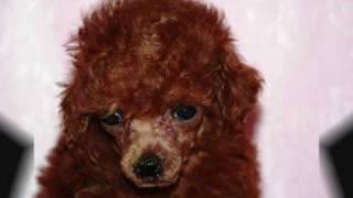 Red Teacup Poodles For Sale