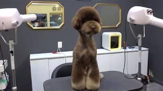 (슈앤트리) 강아지 푸들 미용 스포팅 귀툭튀컷 / dog pet poodle grooming