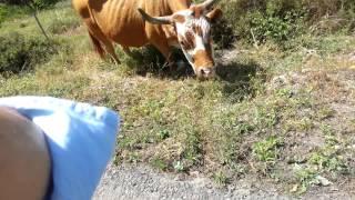 פרה אדומה