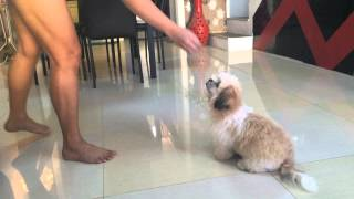 Shih Tzu Puppy Bumble Bee Doing Many Tricks @4mos
