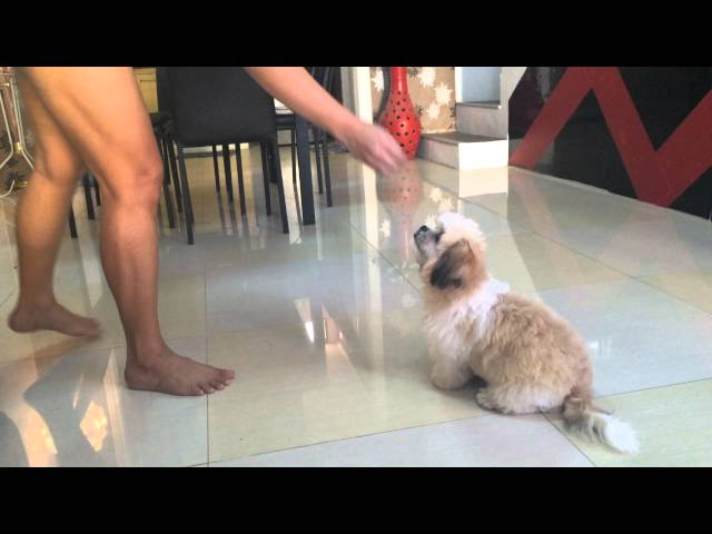 shih tzu puppy Bumble Bee doing many tricks @4mos