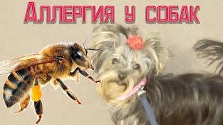 видео аллергия у собак лечение