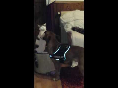 Fight Dog vs Cat