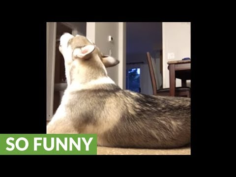Musical husky sings along to guitar tune