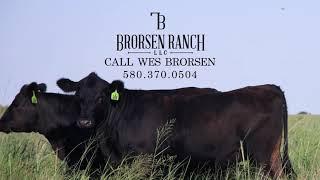 Montana Angus Bred Heifers at The 5