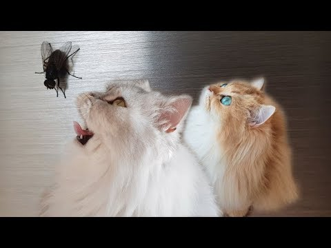 CATS HUNTING FLY - Smoothie & Milkshake Killer Attack
