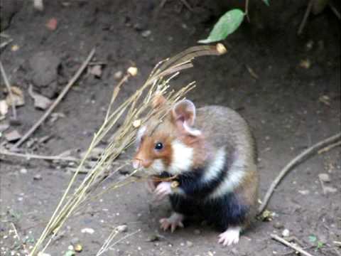 Feldhamster Frißt Flachs / European Hamster Feeding On Flax