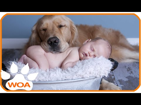 Baby & Golden retriever always best friend Babies need warm hugs from huge dog