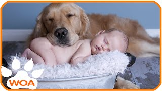 Repeat youtube video Baby & Golden retriever always best friend Babies need warm hugs from huge dog