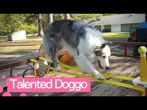 Talented Dog is Extremely Talented | Clever Dogs 👏