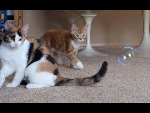 CUTE Kittens PLAYING & CHASING Catnip Bubbles