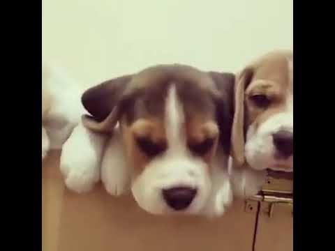three cute beagle puppy in box youtube