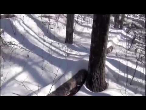 A Bigfoot Trackway In The Snow