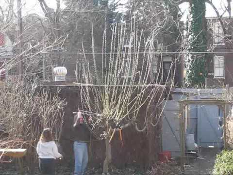 Accept. weeping pussy willow pruning have thought