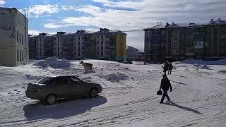 В Воркуте собаки набросились на оленя