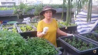 Cách cắt Đọt rau Húng Lủi , khi rau mới trồng vừa bén rễ ,để cây ra được nhiều nhánh | Khoa Hien 273